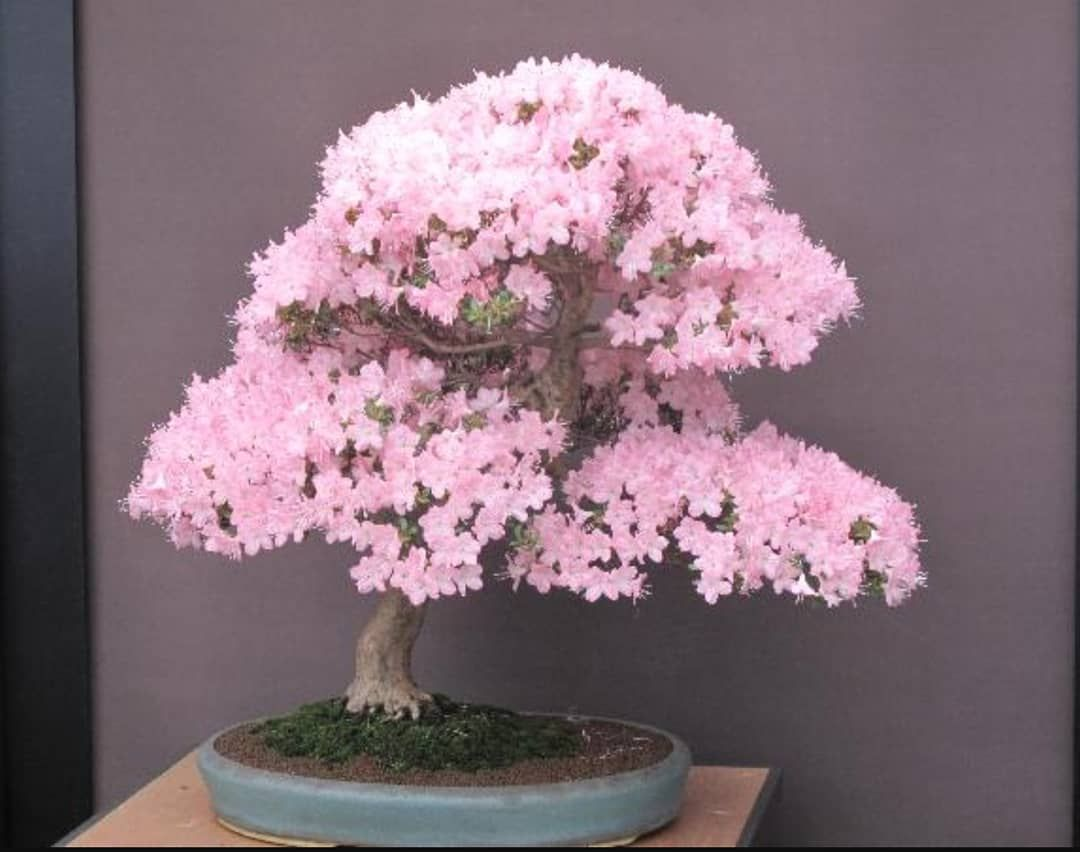 Time For Some Color In This Grey Season Japanese Cherry Blossom