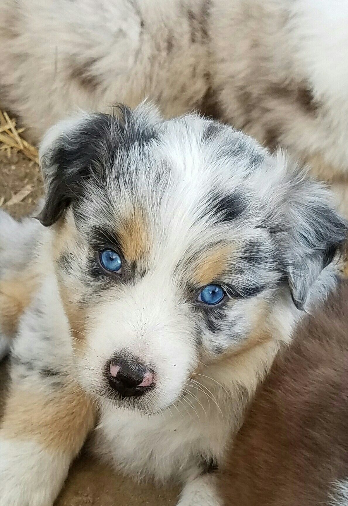 Blu Horizon Aussies Blue Merle Really Cute Dogs Aussie Dogs Cute Dog Pictures