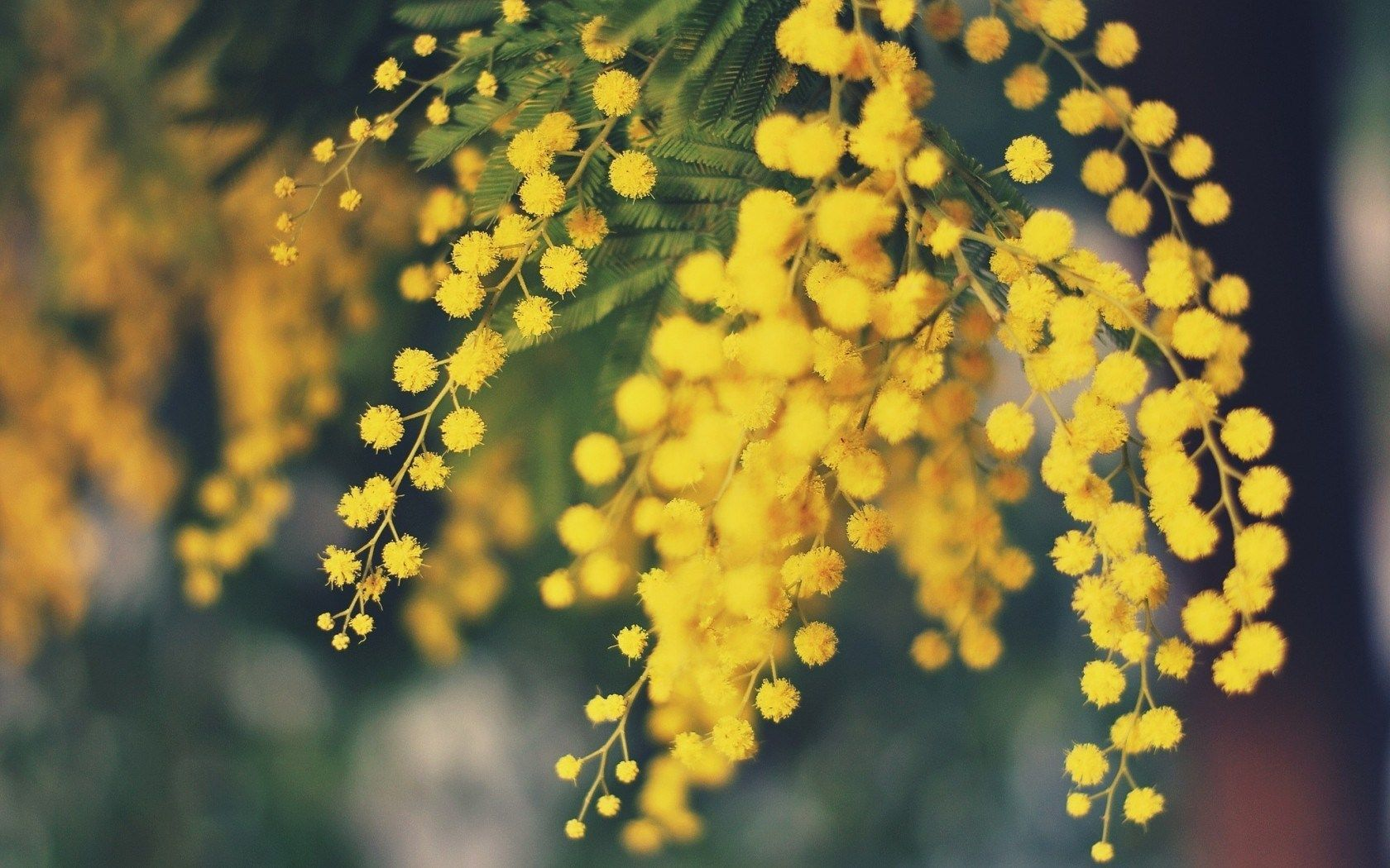 Mimosa Flowers Yellow Nature Hd Wallpaper Freehdwall Free Hd