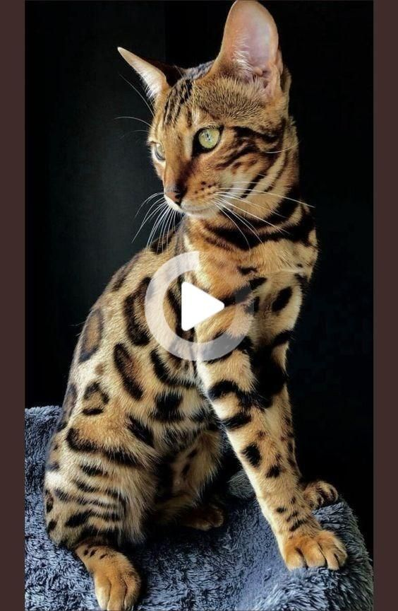 14 Bengal Cats Whose LeopardLike Spots Will