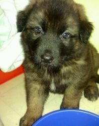 Adopt Bruno On Puppies German Shepherd Dogs Dogs Puppies