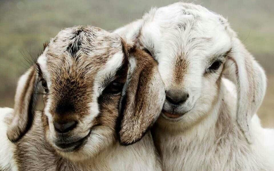 Youth4justice On Twitter Baby Goats Cute Baby Animals Animals Beautiful