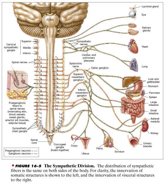 The sympathetic division of the ANS is also known as the ...