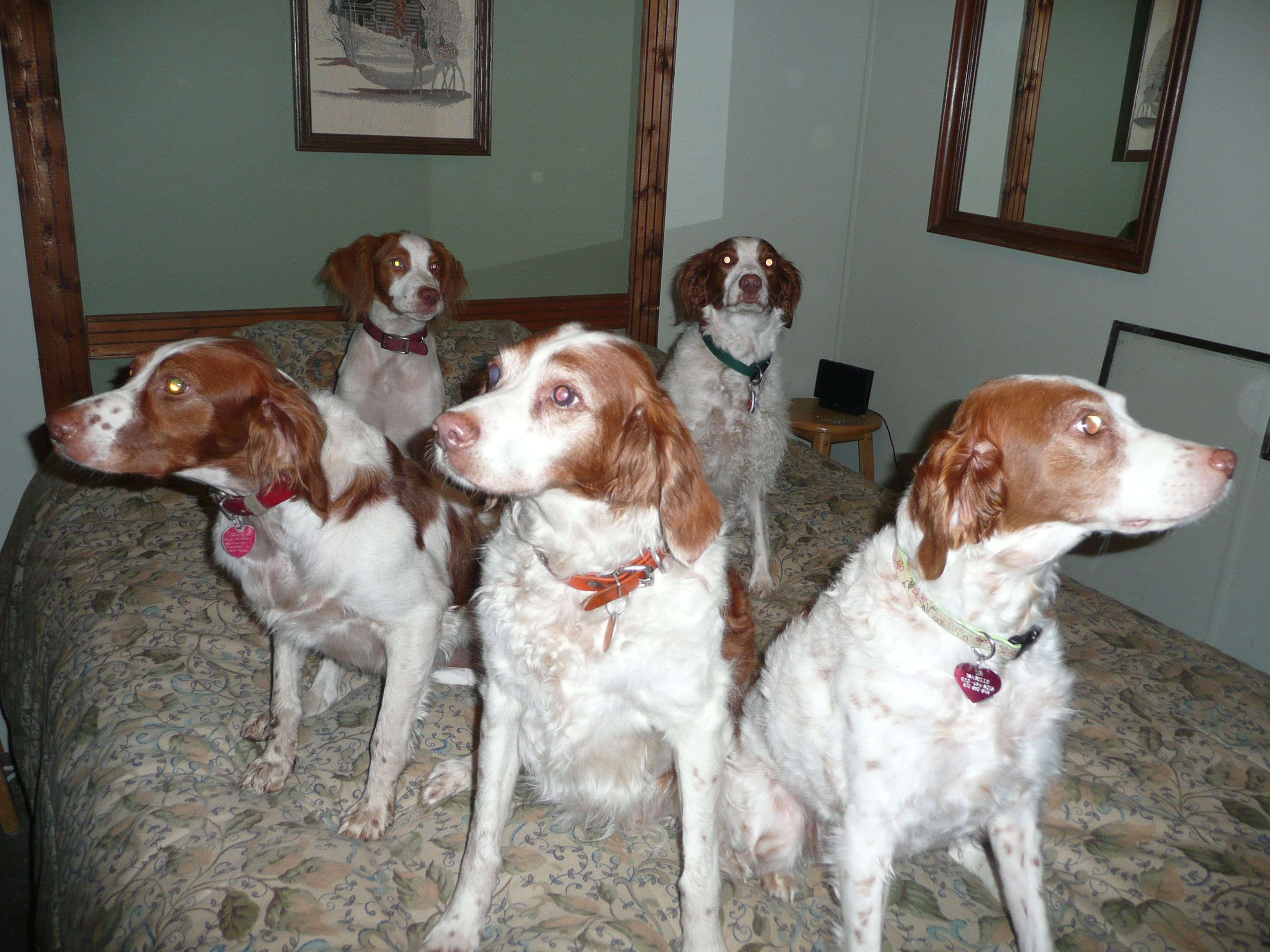 Brittanies Pretty Dogs Dog Love Brittany Spaniel