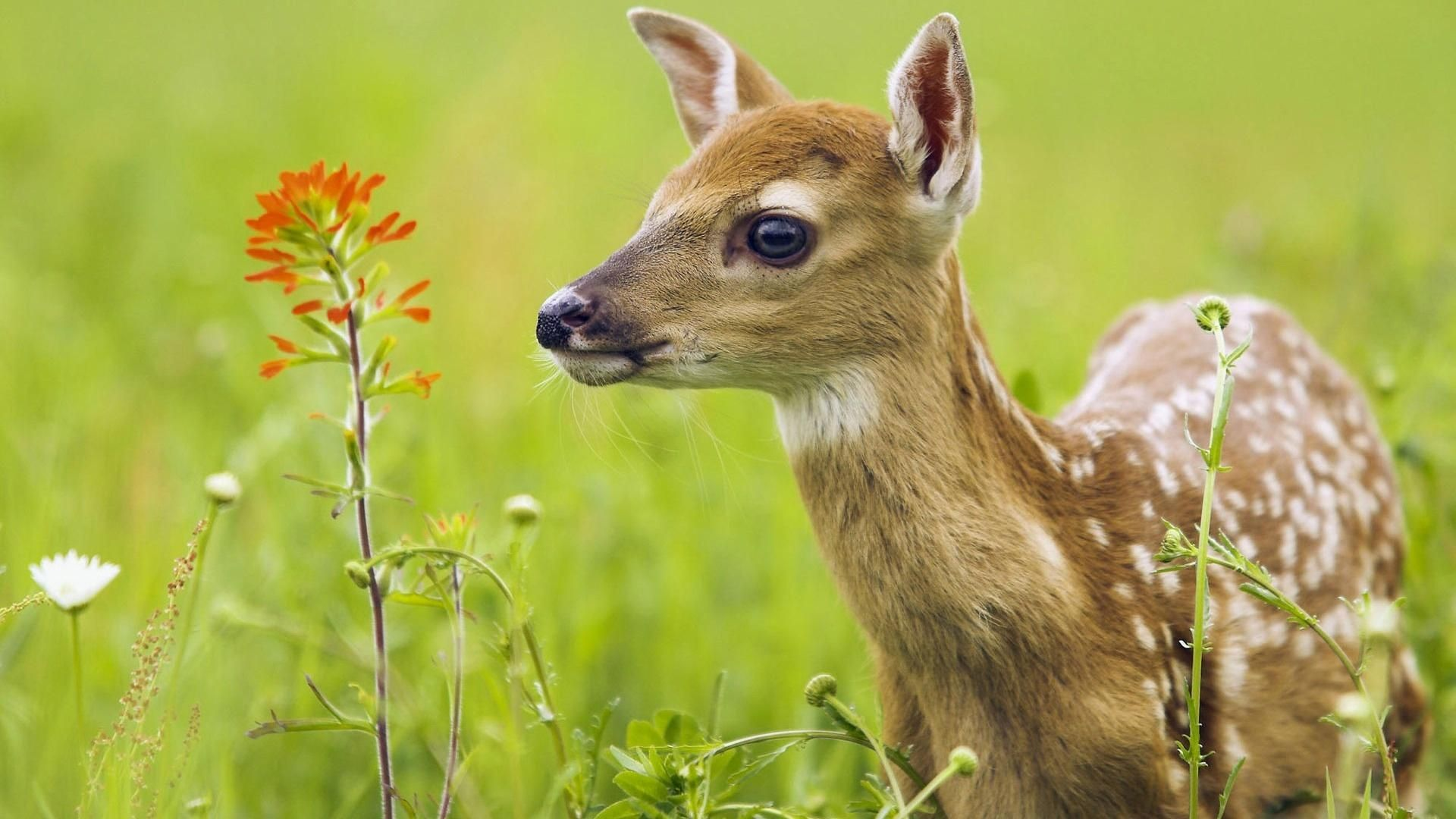 Baby Deer In The Field Jpg 1920 1080 Baby Animals Animals Beautiful Animal Pictures