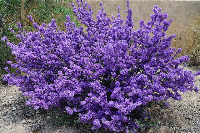 Purple Sage Plant Bush Flickr Photo Sharing
