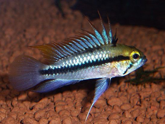 Three Striped Dwarf Cichlid Apistogramma Trifisciata Cichlids Aquarium Fish For Sale Fish For Sale