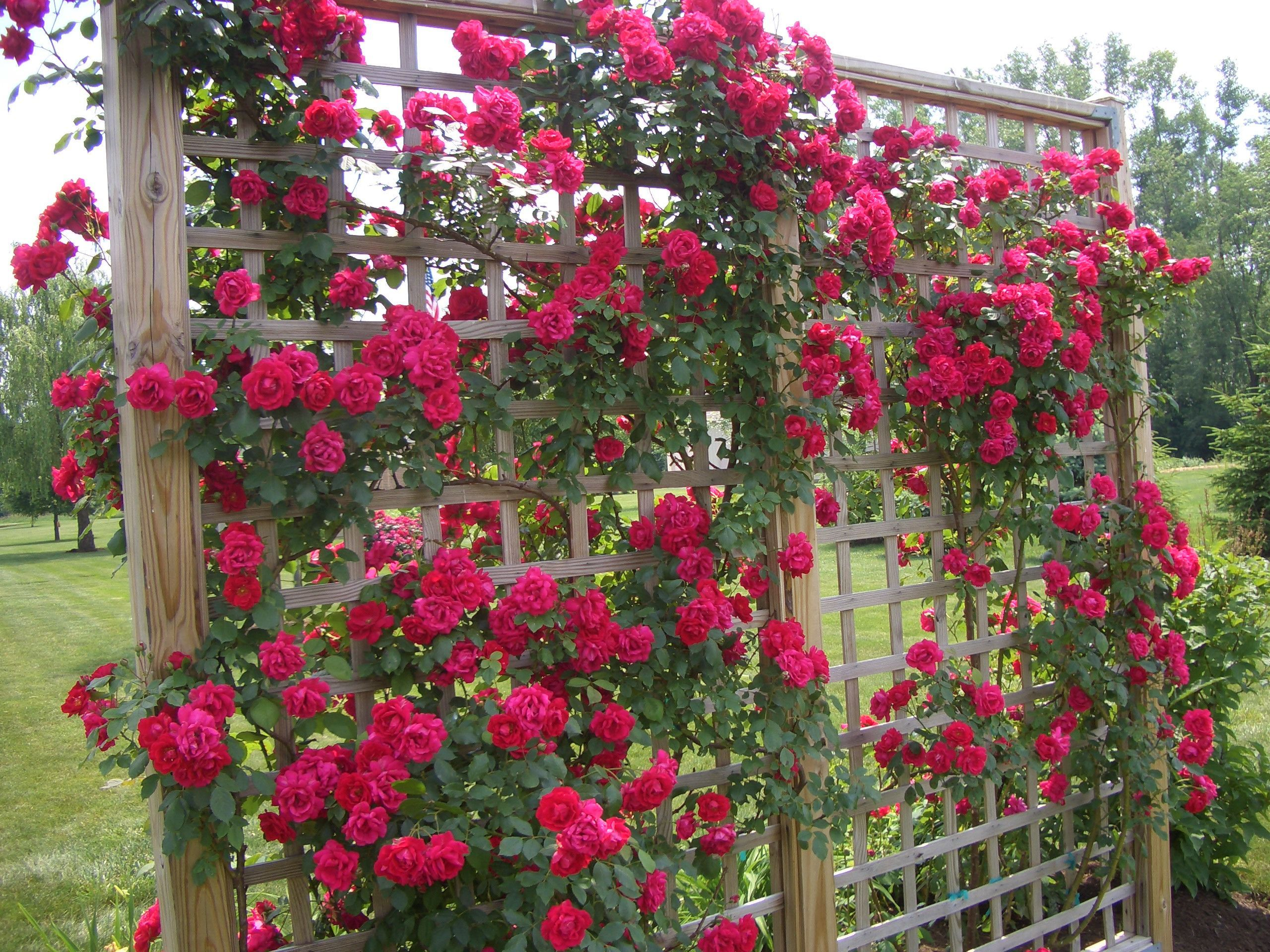 climbing roses prettily grown on rose trellis beautiful garden concept for backyard or front. Black Bedroom Furniture Sets. Home Design Ideas