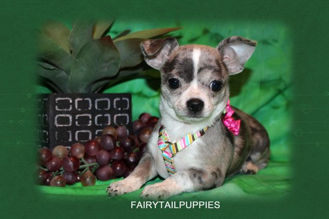 Fairytailpuppies Where Pets Are Family Too Puppies Available Puppies Pets Boston Terrier