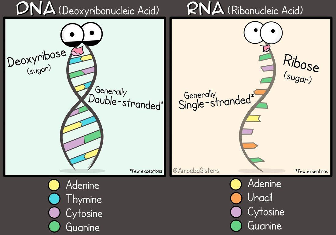 Dna Vs Rna Science Biology