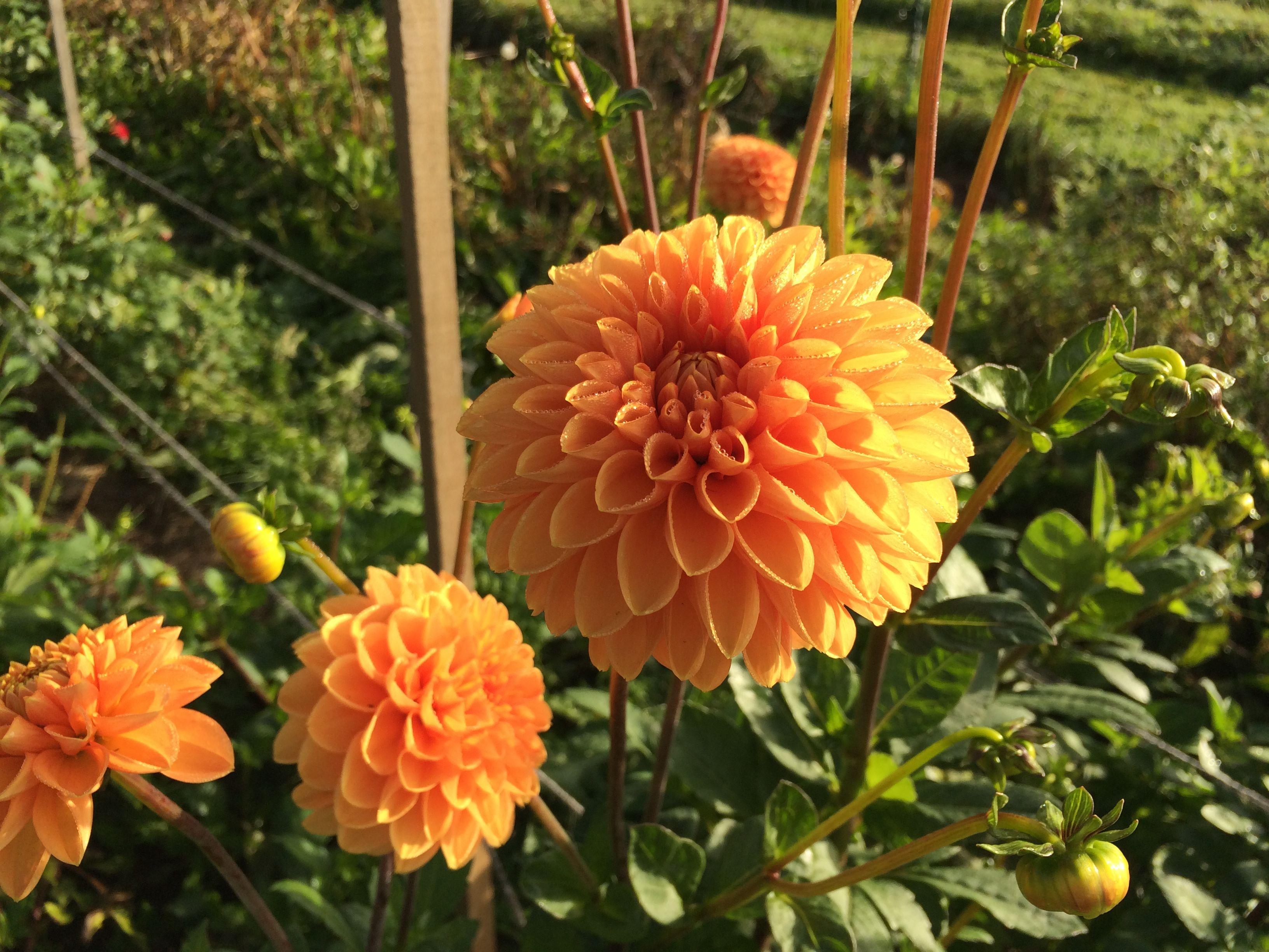 Marn Orange Dahlia In The Field October Seasonal Flowers