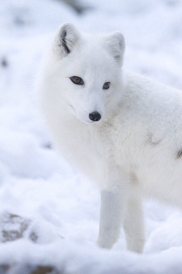Arctic Fox Animaux Renard Blanc Chien Loup