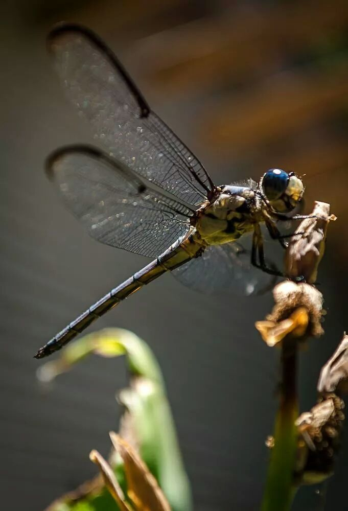 I was fortunate to captute this dragonfly. He remained still enough for me to get this picture.