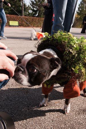 Adorable dog Halloween costumes at Chicago Botanic Garden's Spooky Pooch Parade
