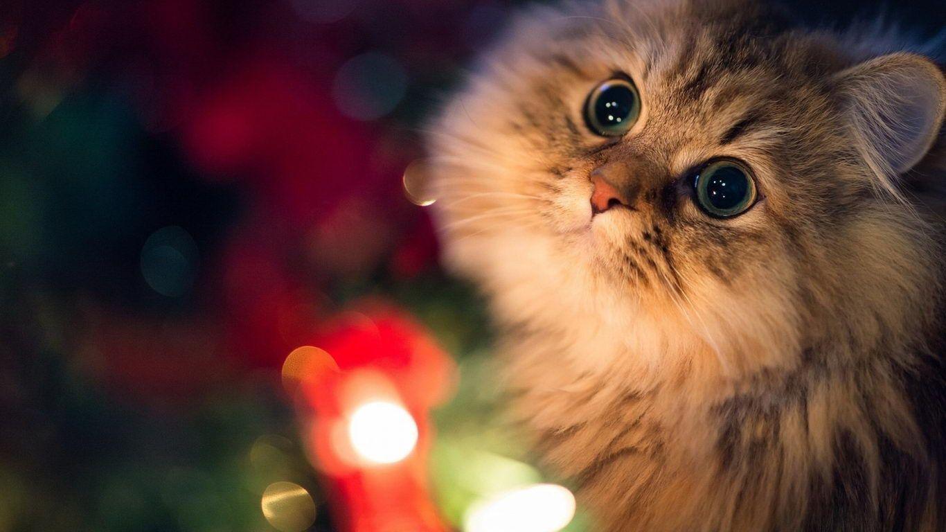 Cute Cat Wallpaper For Laptop Petswall