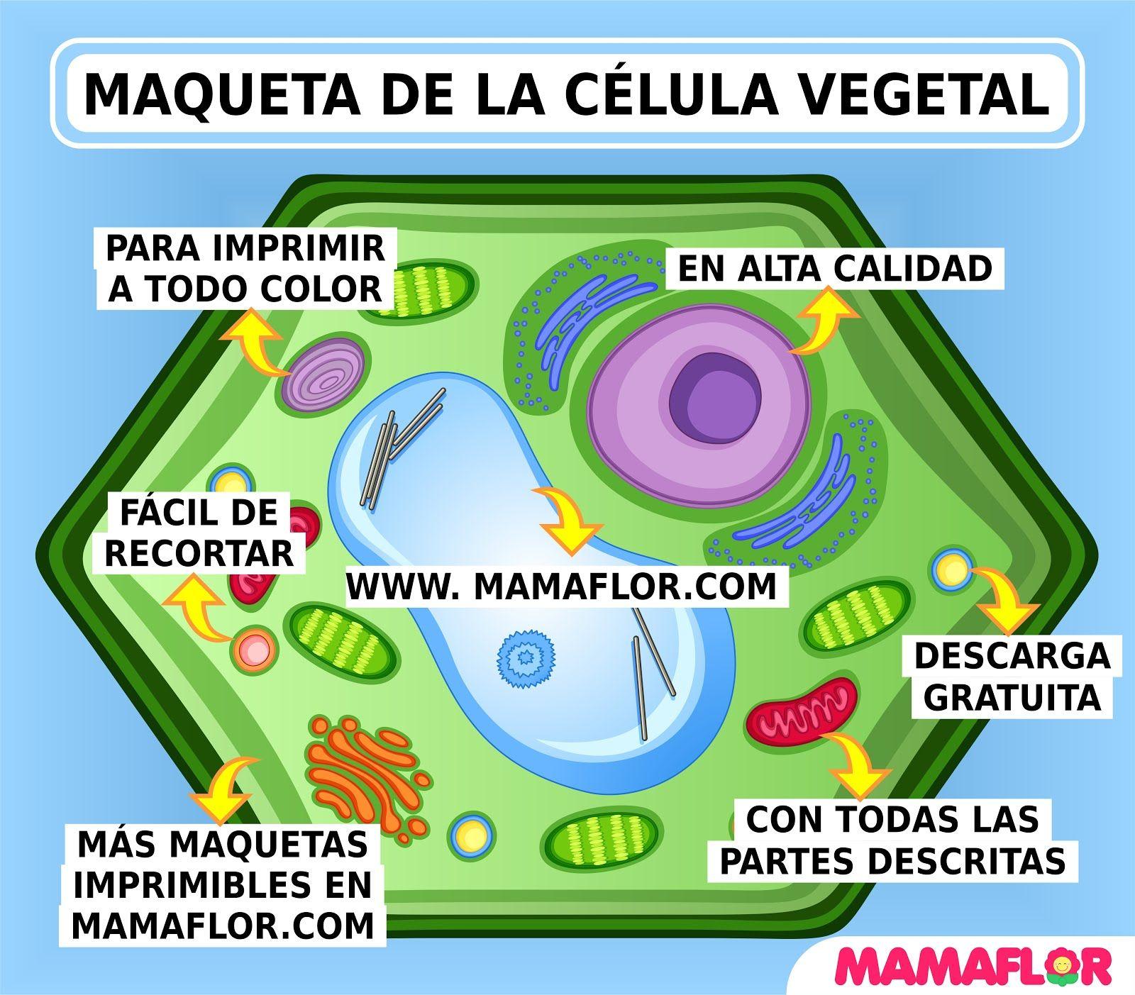 Maqueta De La Célula Vegetal Para Imprimir Célula Vegetal Maquetas De Celulas Clases De Celulas