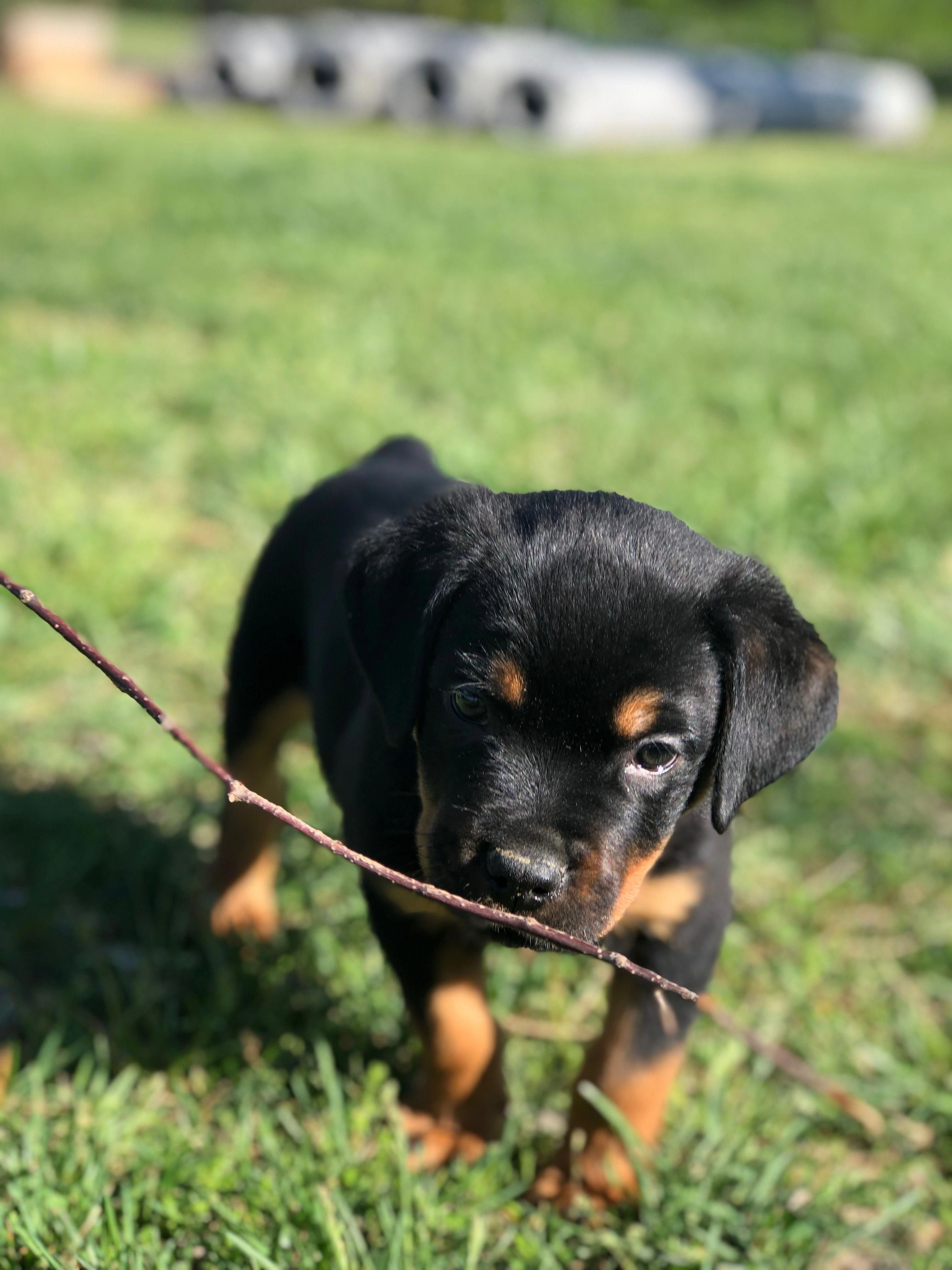 Everything About The Loving Rottweiler Pup Personality