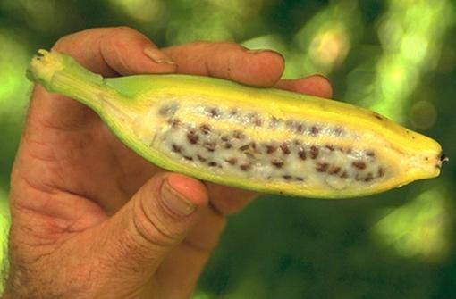 Top 10 Strange Rare And Unusual Bananas Paperblog How To Grow Bananas Grow Banana Tree Banana Seeds