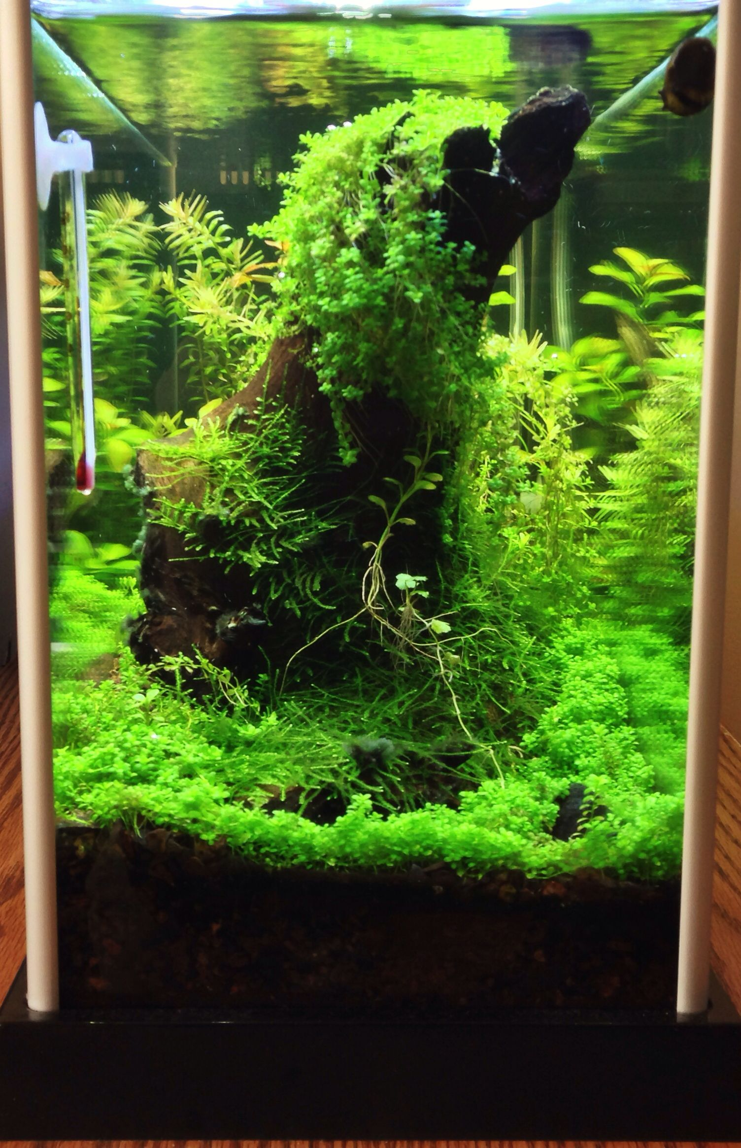 Before the moss extermination - took the driftwood put to ...