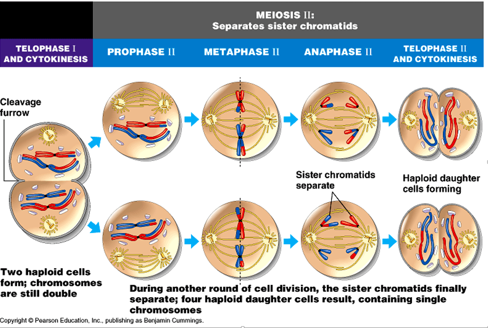 A Summary Of How Cell Division Meiosis In Cells Meiosis Plant And Animal Cells Cell Forms