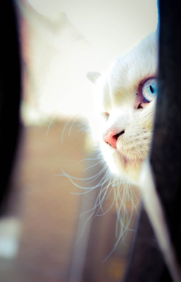 Blue Eyed Scary Animals Cute Animals Fancy Cats