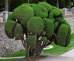 Image result for cupressus sempervirens totem | Landscaping ...