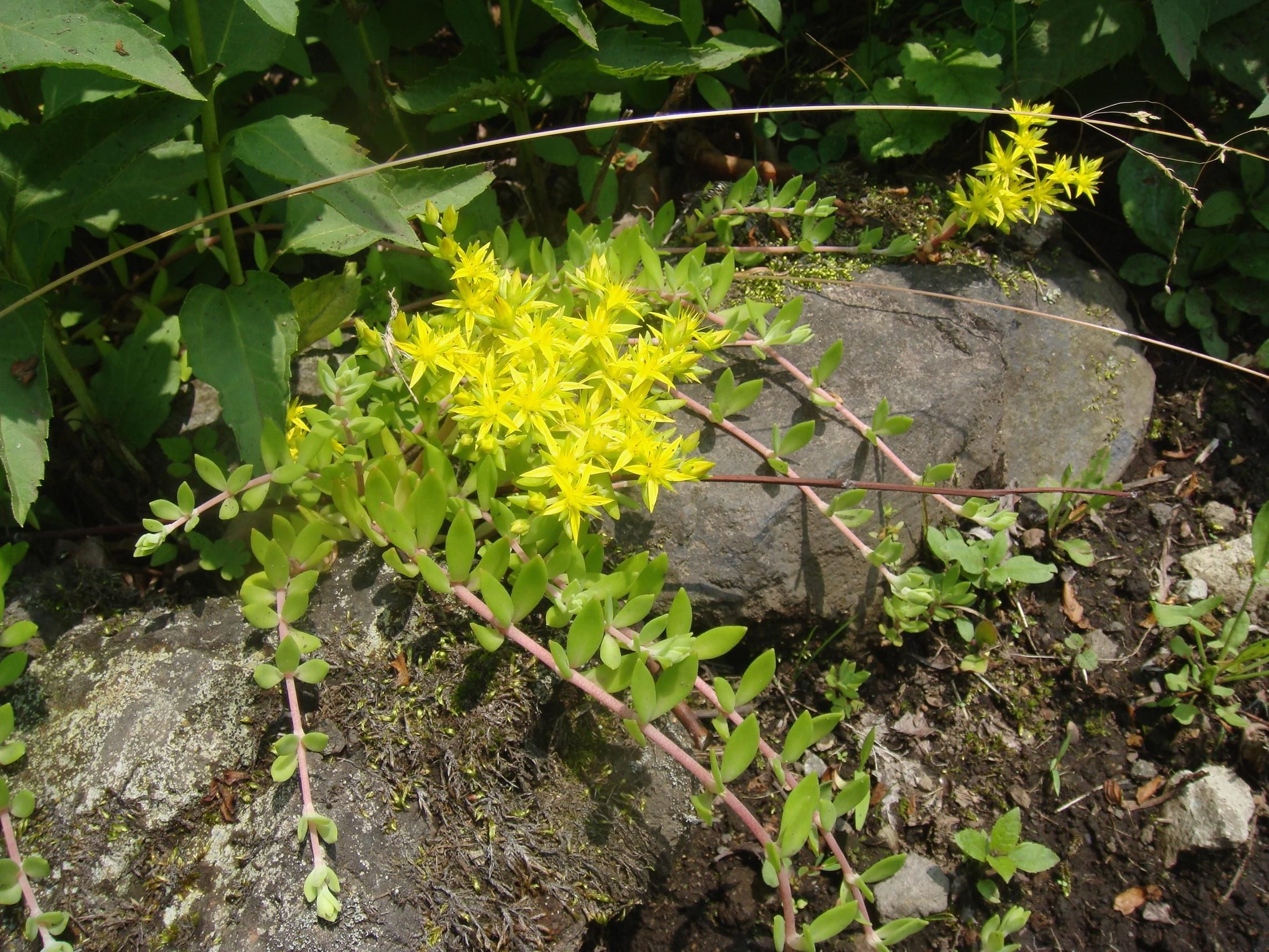 Creeping sedum with yellow flowers sedum sarmentosum outdoor creeping sedum with yellow flowers sedum sarmentosum mightylinksfo