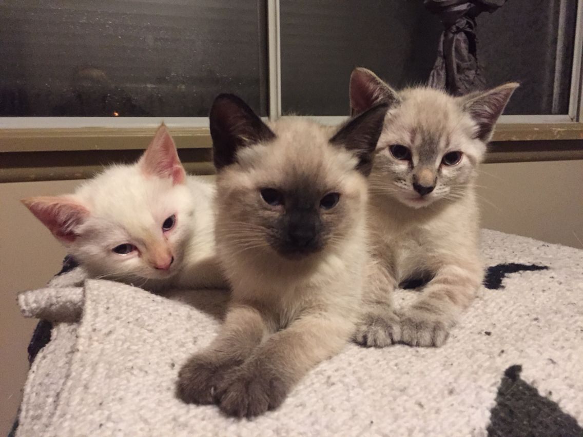 Flame, Lynx and seal point Siamese kittens! | Cats | Pinterest ...