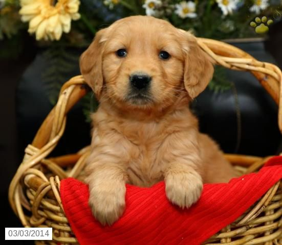 Golden Retriever Puppy For Sale Puppies For Sale Lancaster