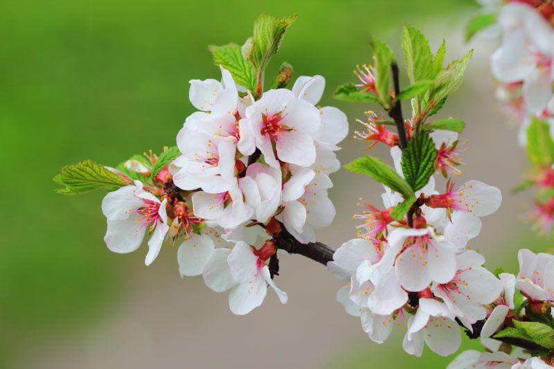 Edible Prunus Tomentosa Nanking Cherry 6 To 10 X 12 To 15 Full Sun To Part Sun Well Drained Cherry Tree Varieties Flowering Cherry Tree Showy Flowers