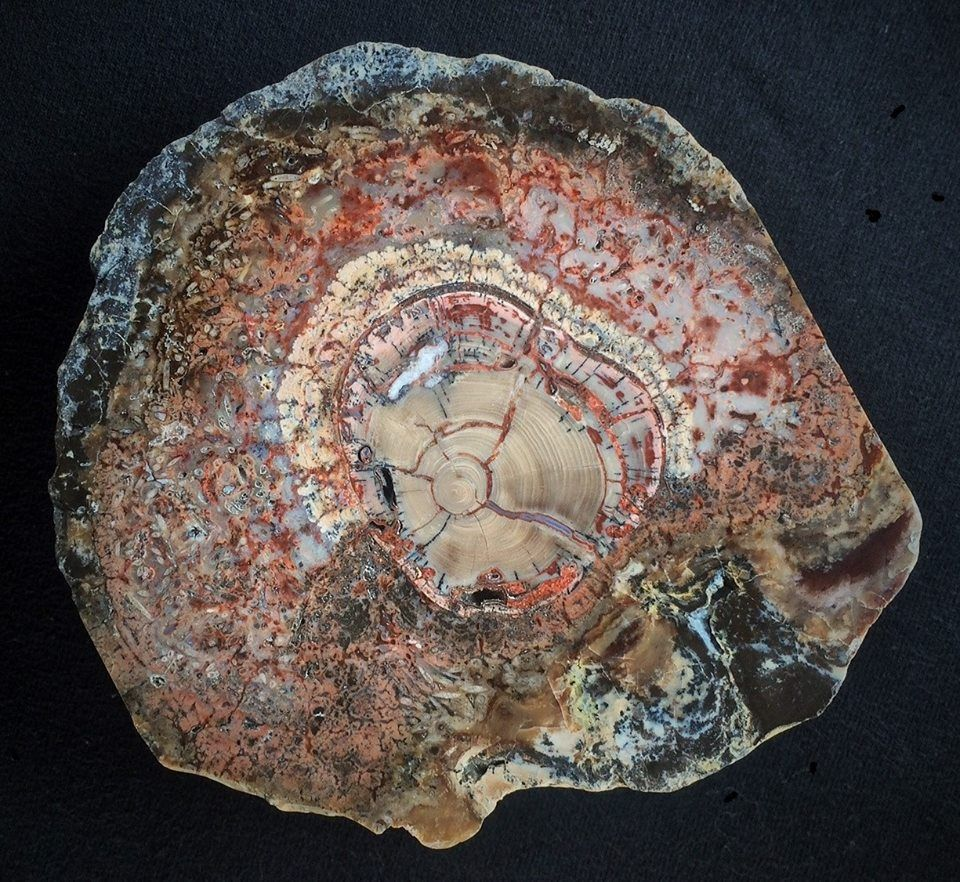 Petrified Wood Encased In Fossil Algae Unknown Location Possibly