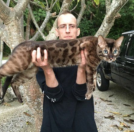 Omg Look At This Huge Gorgeous Charcoal Bengal Bengal Cat