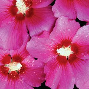 Buy Hibiscus Violet Satin Shrubs Online. Garden Crossings Online Garden  Center Offers A Large Selection