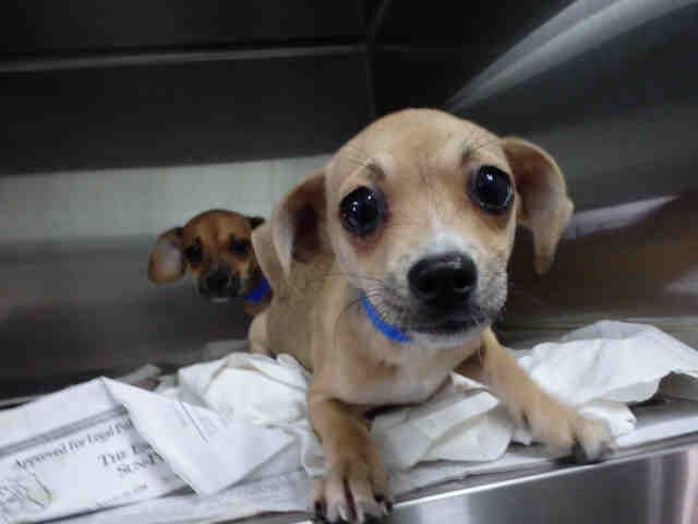 No Longer Listed Florida U Hunter Id A254004 Is A Neutered 14wk Chi Mix In Need Of A Loving Adopter Rescu Escambia County Cute Animal Photos Cat Care