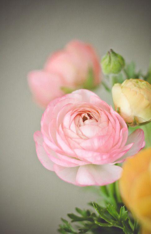 Studioview One Pink Ranunculus Photographic Prints By Flowers Photography Flowers Flower Photos