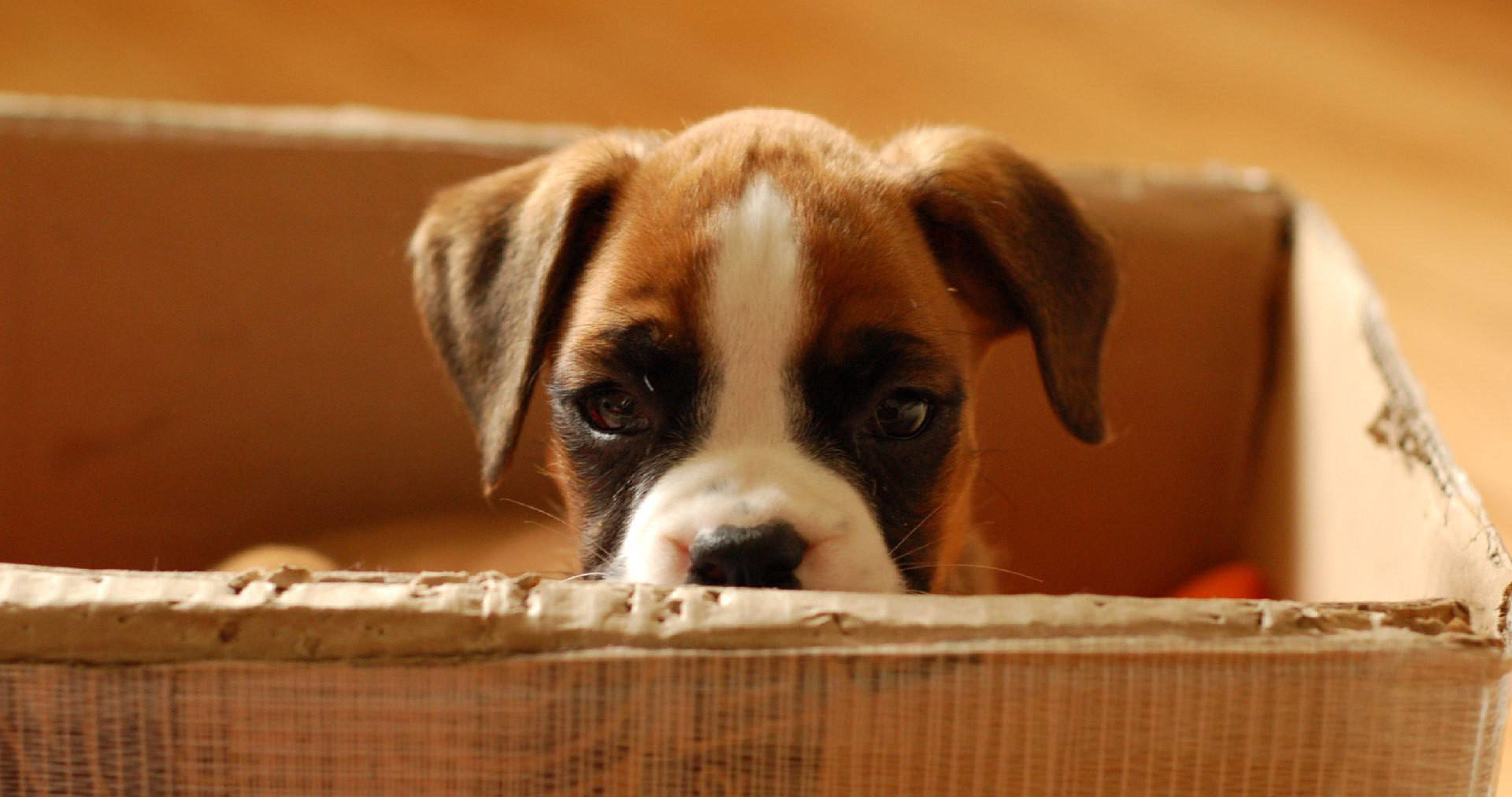 Boxer Puppy Hd Wallpaper Hd Wallpapers Hd Dog Photos Dog Breeds Pictures Dog Breed Info