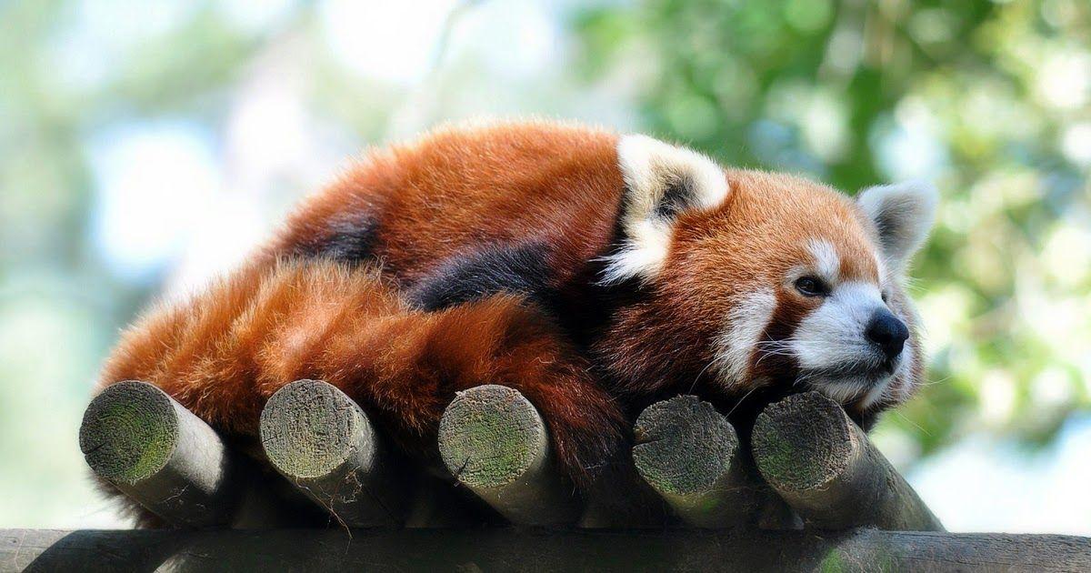 19 Iphone Wallpaper Red Panda Red Panda 3 Wallpaper Red Panda Wallpaper 1920 Hd From Www Elsetge Cat The Red Pand Red Panda Panda Wallpapers Red Panda Baby