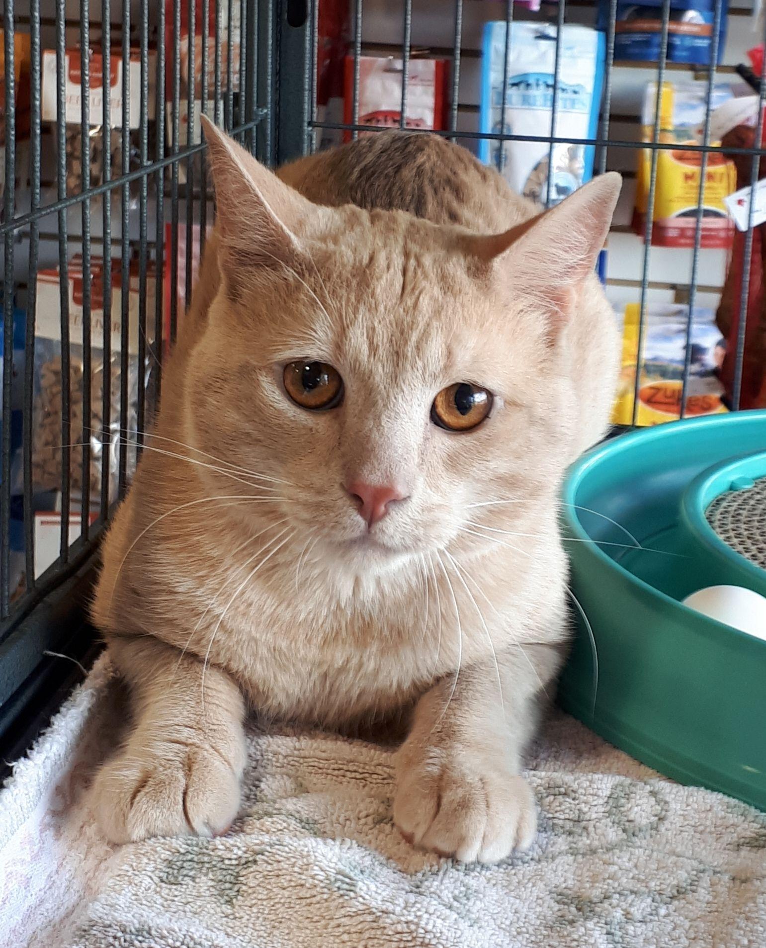 Adopt Bob On Petfinder Cat Adoption Cats Pets Cats