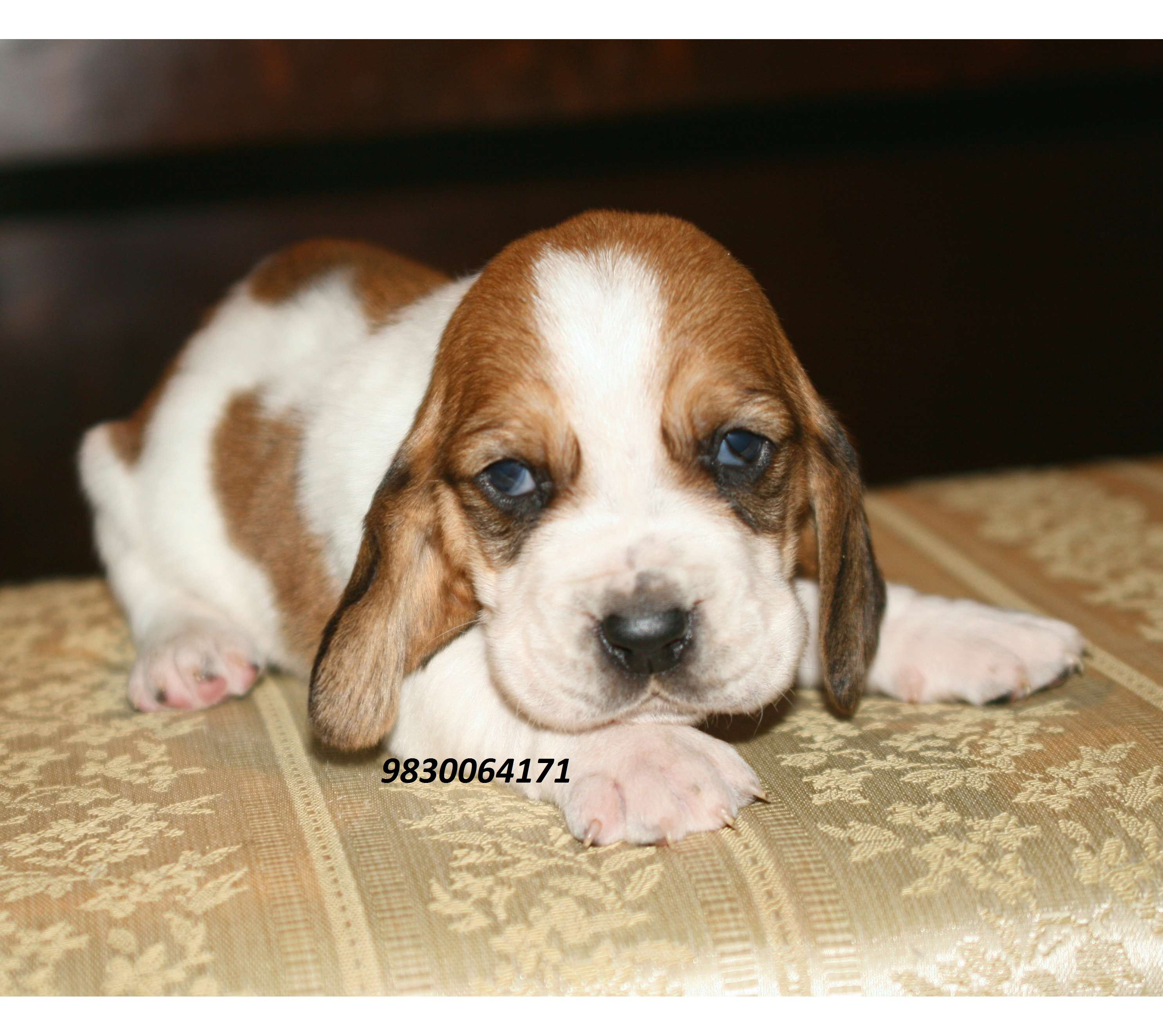 Bassat Hound Puppies At Clawsnpawskennel 9830064171 Basset