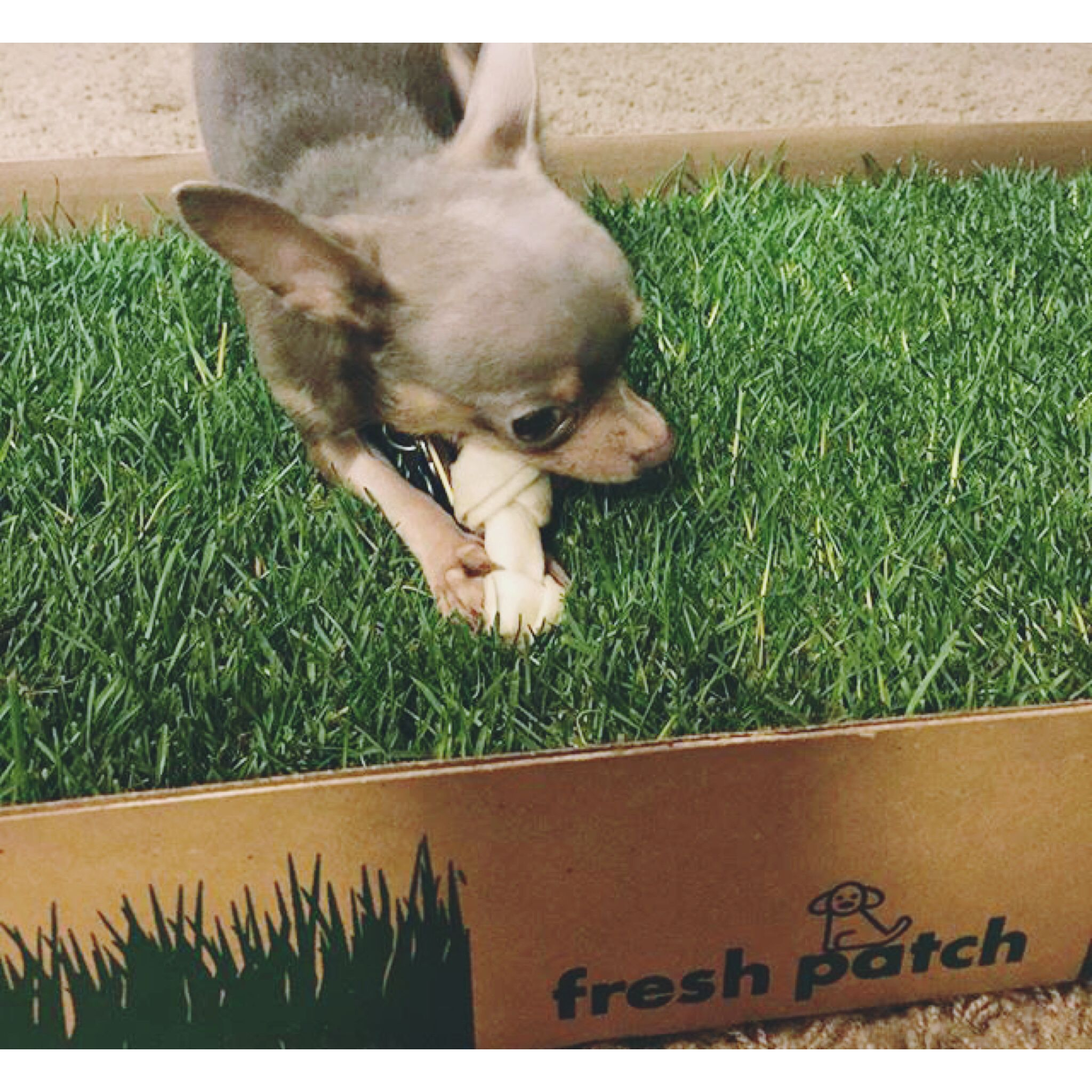 Chihuahuas do it best especially on a fresh patch the