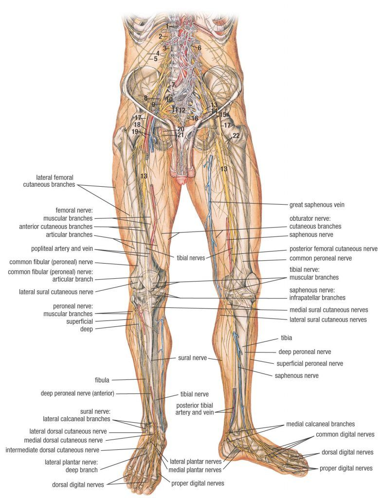 Human Anatomy Diagram: Lateral Femoral Nerves In Leg Cutaneous ...