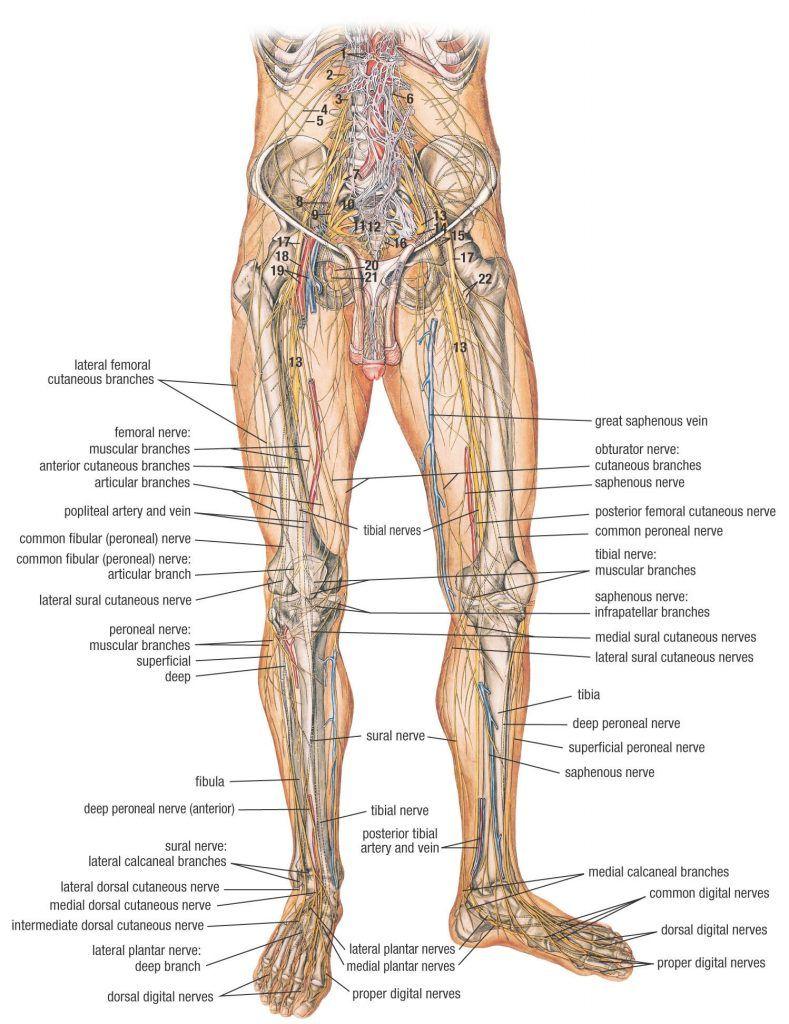 medium resolution of  nerve muscular anterior human body obturator medial sural nerves in leg and hip nerve pain in leg symptoms sciatic nerve in leg nerves in leg diagram