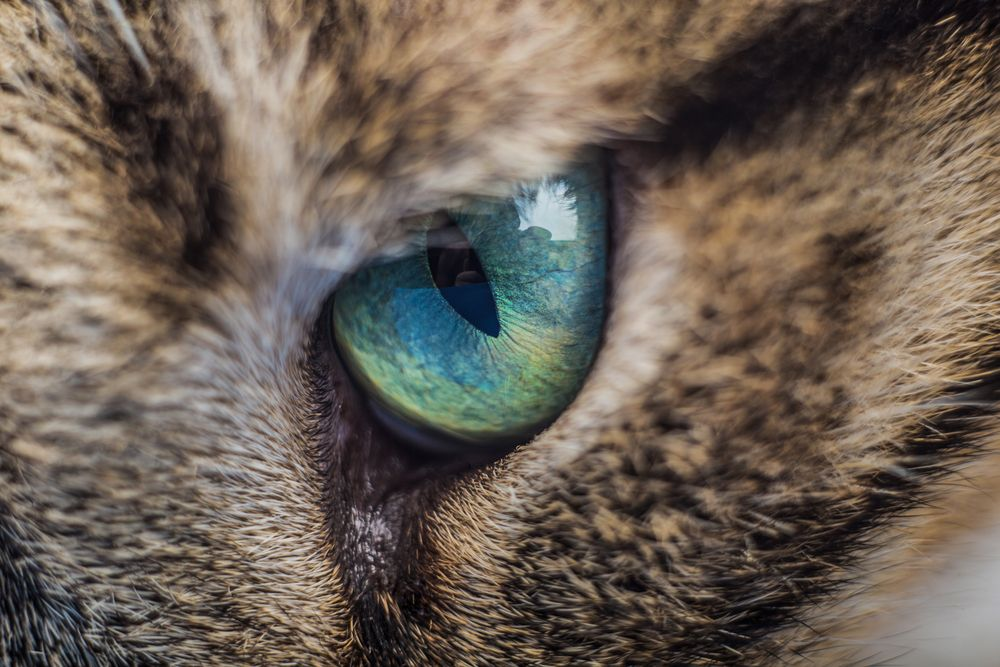 Eye Inflammation (Conjunctivitis) in Cats Kitten eyes
