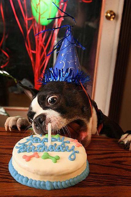 Snarf Dog Birthday Boston Terrier Terrier