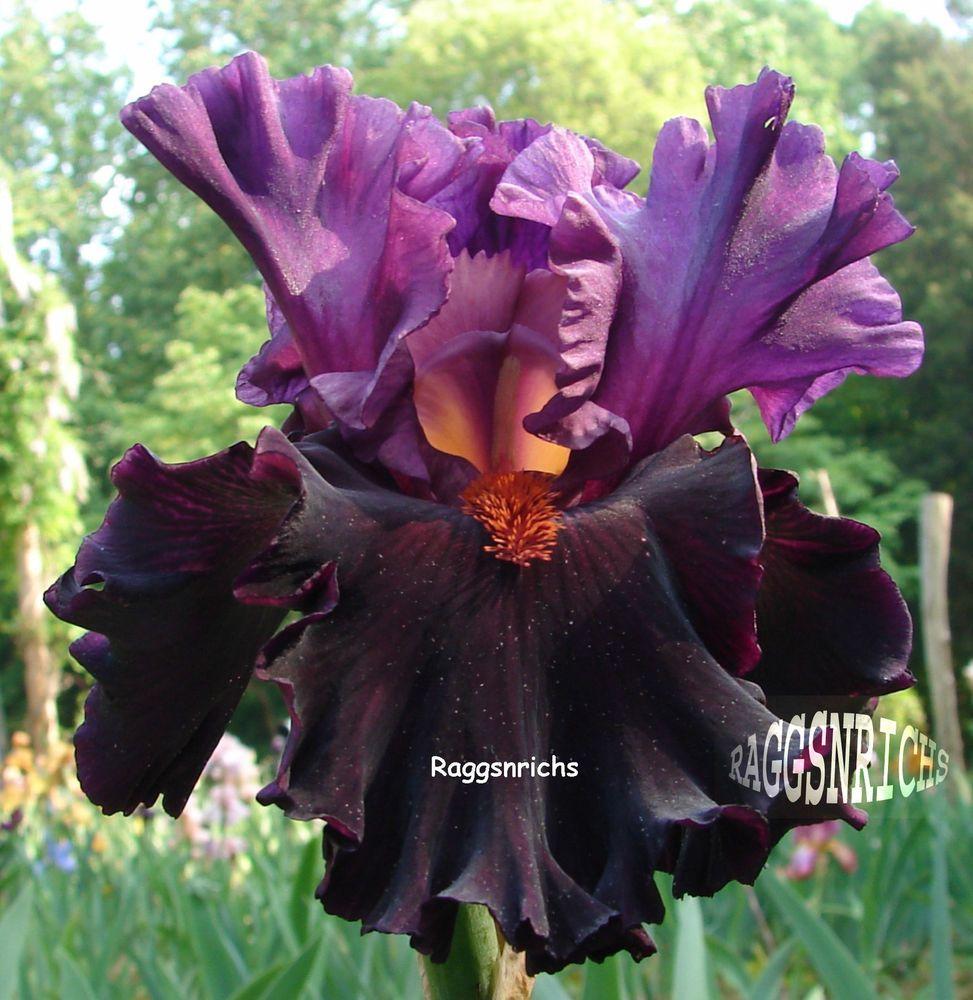 Tall Bearded Saturn Iris Beetroot Black Cherry 05 Perennial