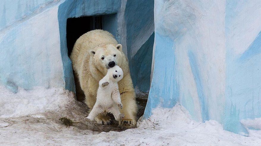 En El Reino Animal Como En Los Humanos Los Animales Cuando Nacen Están Siempre Con La Madre Y Aque Es Su Baby Polar Bears Cute Animal Pictures Cute Animals