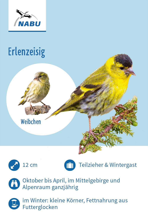 Vogelportrats Art Nicht Gefunden 404 Zeisig Erlenzeisig Vogel Im Garten