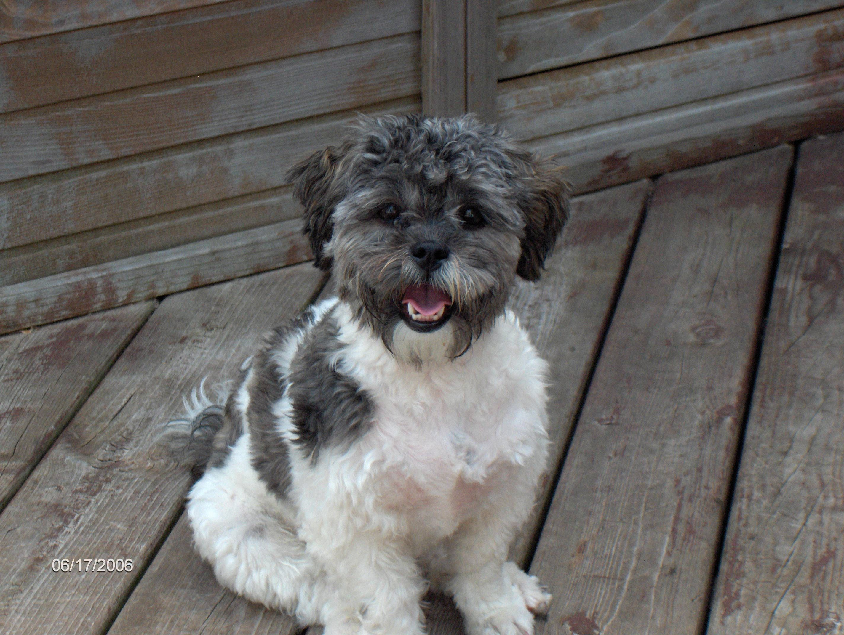 You Ve Got The Eekest Little Baby Face Shih Poo Poodle Mix Dogs