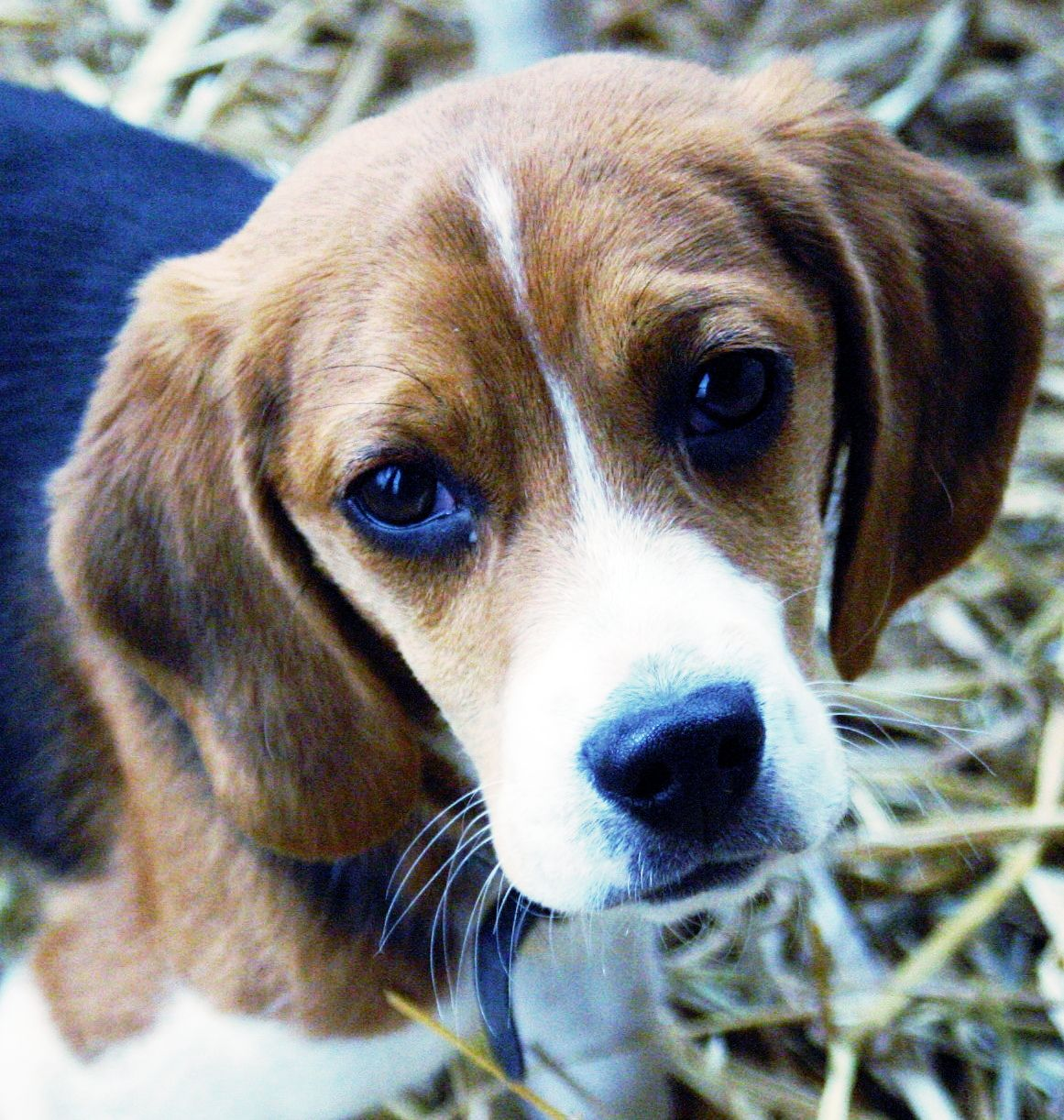 This Beagle Puppy has Love Eyes! Isn't this puppy just a little cutie pie?  Beagles are one of the most beloved breeds of dog around the world. Snoopy, perhaps the world's most famous dog, is a beagle. Here are some other interesting facts about beagles  Read more: http://www.cesarsway.com/dogbehavior/basics/10-Interesting-Facts-About-Beagles#ixzz31tu0JMwE  #cutebeaglepuppy #beaglepuppy #beaglepupplies #cutebeaglepic #beaglefacts