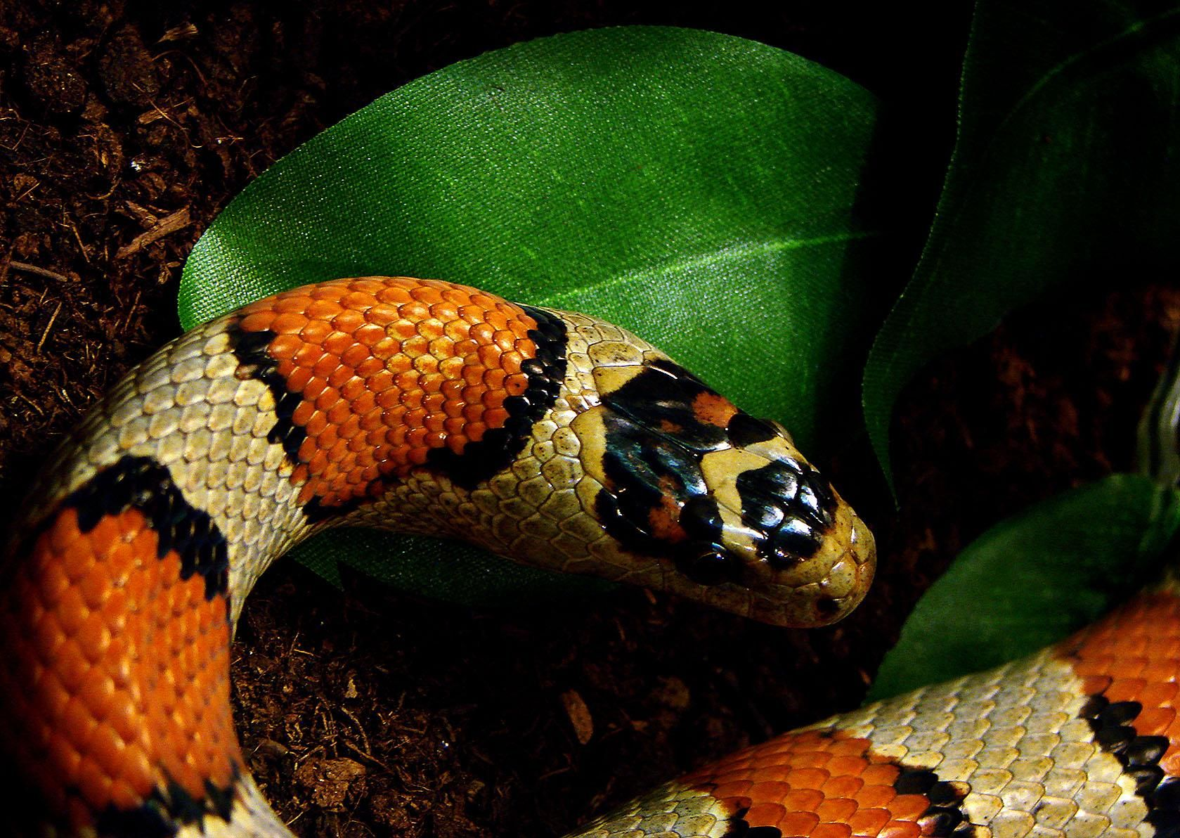 Grey banded king snake Genesis story, Adam and eve